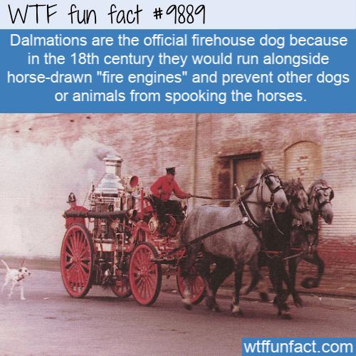 fun animal fact dalmation fire dog