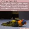 Drunken Aussie Birds