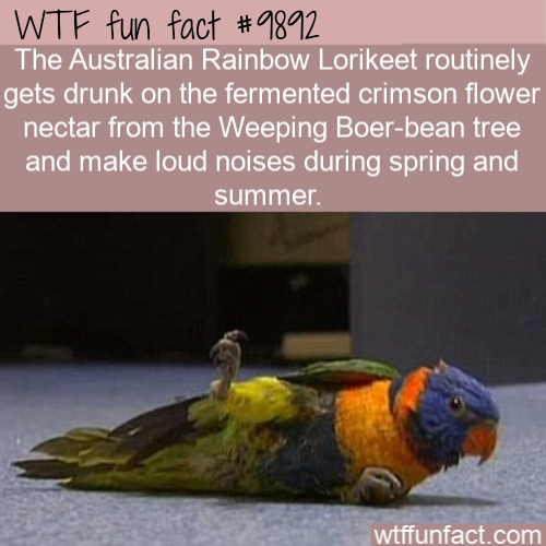fun animal fact drunk australian bird