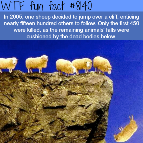 1500 sheep jump of a cliff - WTF fun fact