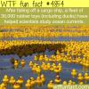 30000 rubber ducks help scientists study ocean