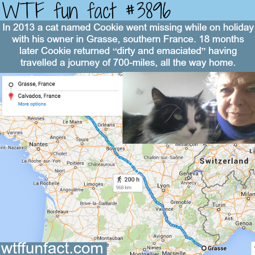 A cat travels 700 miles to find it's owner - WTF fun facts