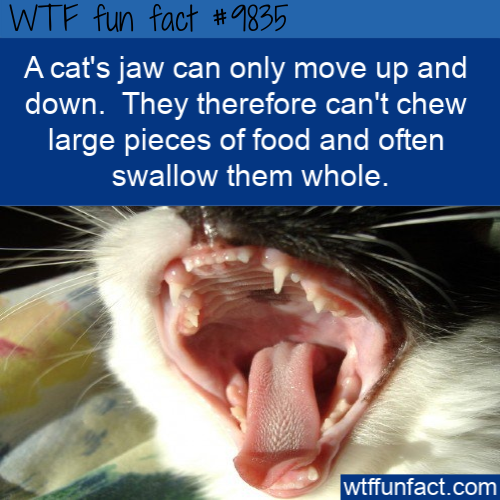 A cat's jaw can only move up and down.  They therefore can't chew large pieces of food and often swallow them whole.