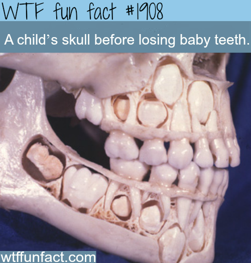 A child's skull before losing baby teeth -WTF fun facts