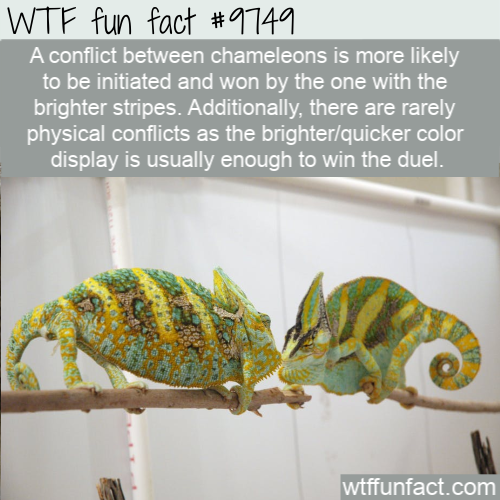 A conflict between chameleons is more likely to be initiated and won by the one with the brighter stripes. Additionally