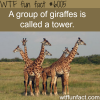 a group of giraffes wtf fun facts