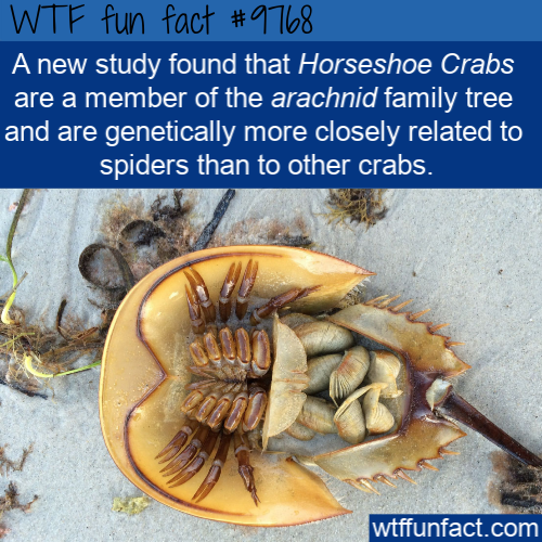 A new study found that Horseshoe Crabs are a member of the arachnid family tree and are genetically more closely related to spiders than to other crabs.