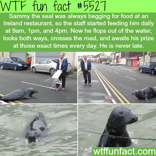 A seal in Ireland always begs for food from a restaurant - WTF fun facts