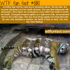 a tiger with its baby pigs wtf fun facts