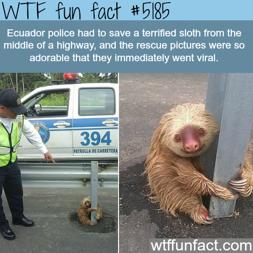 Adorable sloth stock in the middle of the highway in Ecuador - WTF fun facts