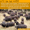 african buffalo wtf fun facts