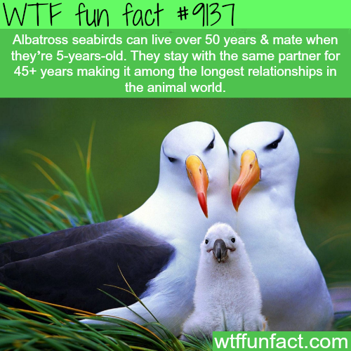 Albatross Seabirds Stay in a Relationship for 45 Years. - WTF Fun Facts