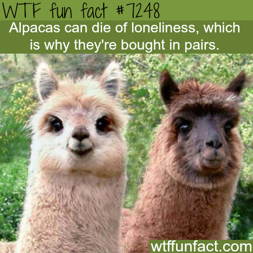Alpacas can die of loneliness - WTF Fun Fact