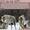 alpha wolf wtf fun fact
