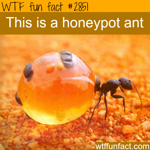 Amazing photograph of the honeypot ant -WTF fun facts