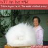 angora rabbit fluffiest bunny