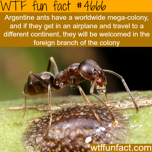Ants mega-colony