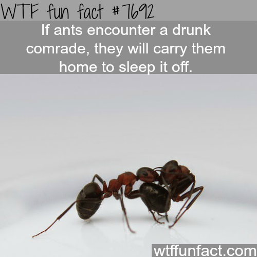 Ants will carry their drunk comrades home - WTF FUN FACTS