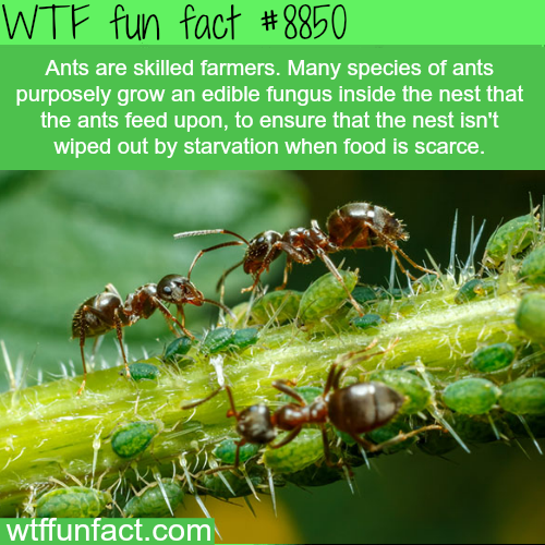 Ants - WTF fun facts