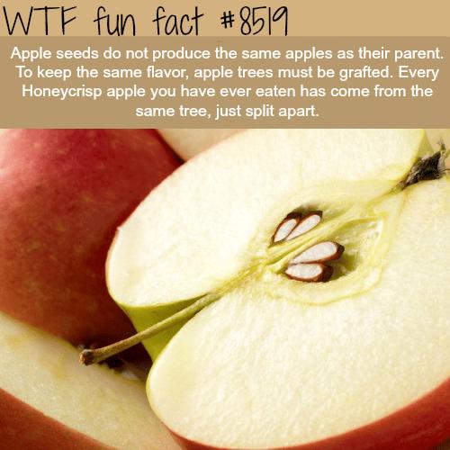 Apple Trees - WTF fun facts