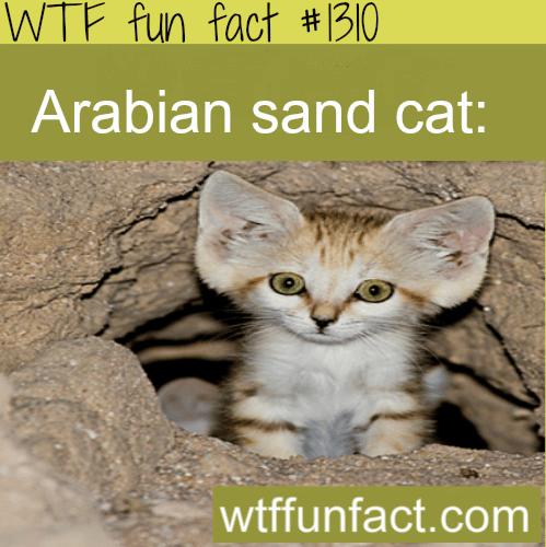 Arabian sand cat - animals.