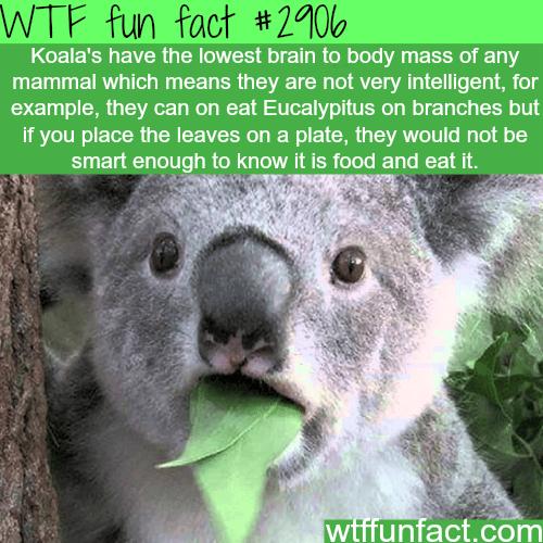 Are Koalas smart animals? -WTF fun facts