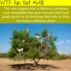 argania tree in morocco wtf fun facts