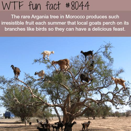 Argania tree - WTF fun fact