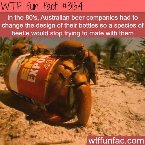 Australian beetles try to mate with a beer bottle -WTF fun facts