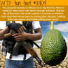 avocado cartels wtf fun facts