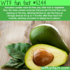avocados facts wtf fun facts