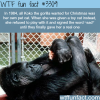 awesome facts about koko the gorilla