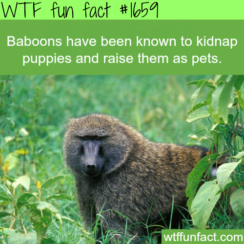 Baboons facts -WTF fun facts