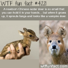 baby chinese water deer is cute