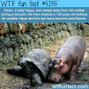 baby hippo became friend with a tortoise wtf fun