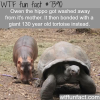 baby hippo gets attached to a giant tortoise after