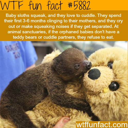 Baby sloths love to cuddle - WTF fun facts
