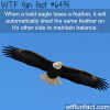 bald eagle wtf fun facts