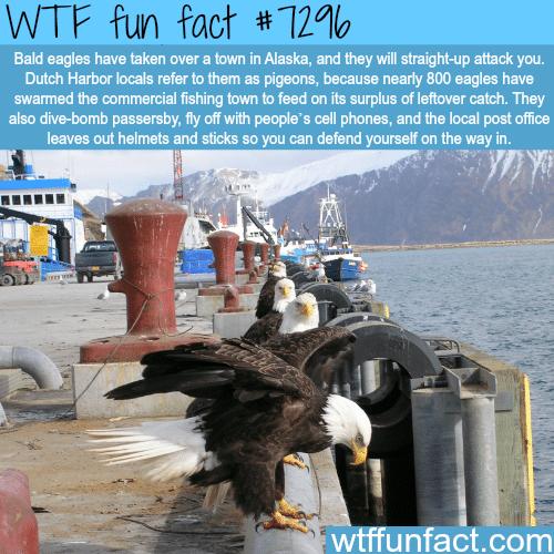 Bald eagles in Dutch Harbor