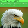 bald eagles wtf fun facts