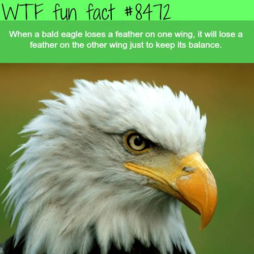 Bald eagles - WTF fun facts