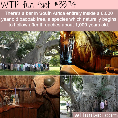 Bar in South Africa inside a tree -  WTF fun facts