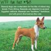 basenji dog breed wtf fun fact