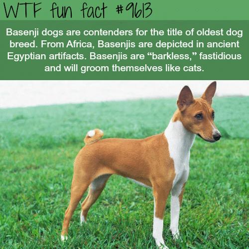 Basenji Dog Breed - WTF fun fact