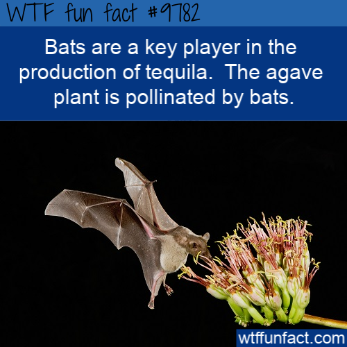Bats are a key player in the production of tequila.  The agave plant is pollinated by bats.