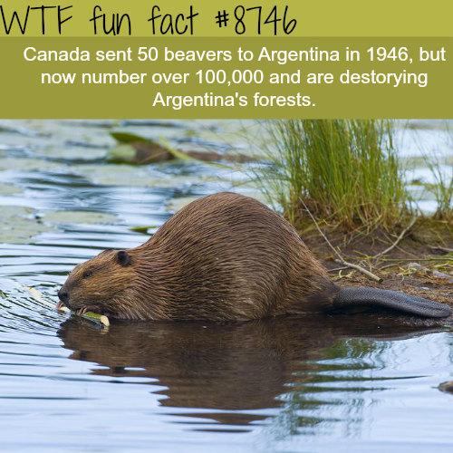 Beavers are ruining Argentina'sforests - WTF fun facts