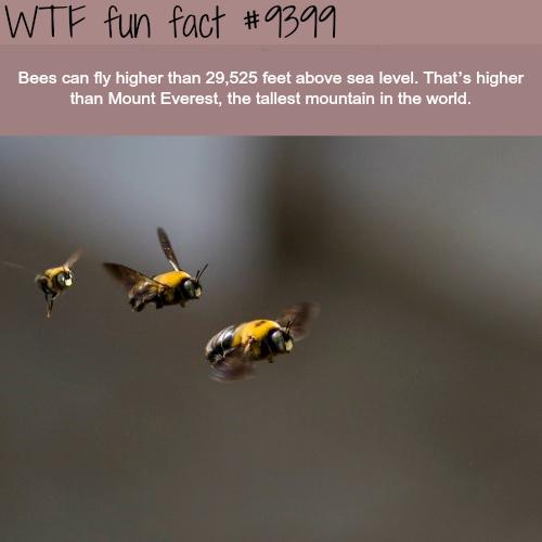Bees can fly higher than Mount Everest - WTF fun facts