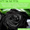 black roses in turkey wtf fun facts