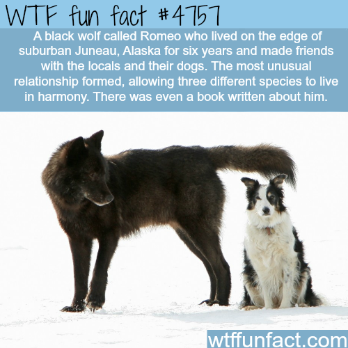 Black wolf made friends with a dogs and humans - WTF fun facts