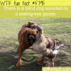 blind dog assisted by a seeing eye goose wtf fun